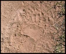Bear Tracks2