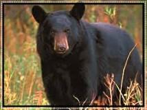 black-bearframed