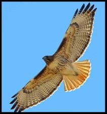Hawk Soaring