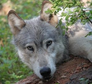 0462_wenaha_male_wolf (ODFW) 2