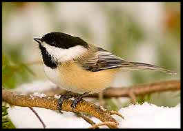 Black Capped Chickadee Framed