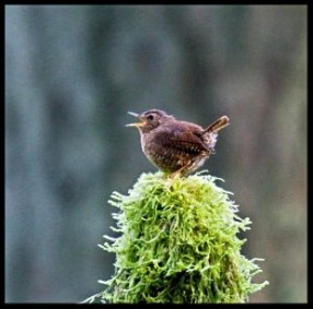 Pacific Wren framed