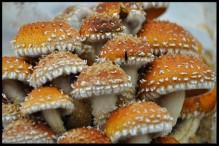 Mushrooms.finl