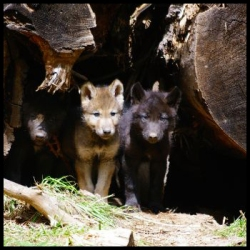 wolfpupsborder